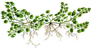 A picture of green ivy.